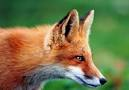Renard
